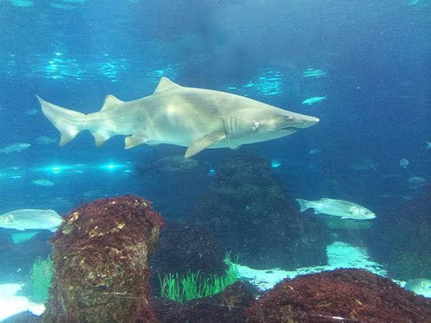 tiburón acuario