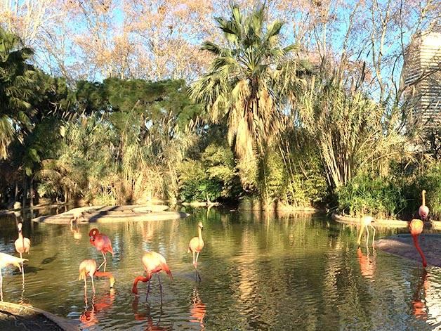 zoo de Barcelona: flamencos rosas